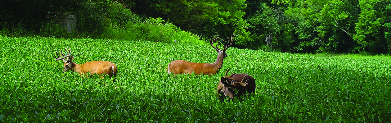 Buck.It Ready deer in performance food plot
