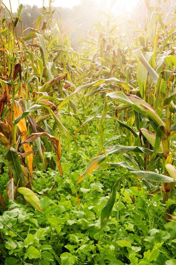 Corn and radish food plot